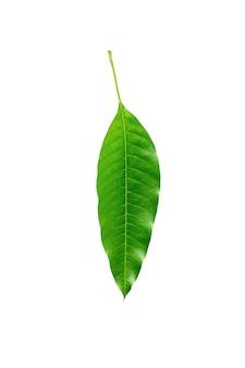 緑のマンゴーの葉が分離されました。