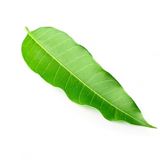 Green mango leaves  isolated