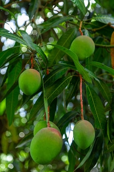 Green mangoes on tree in a plantation