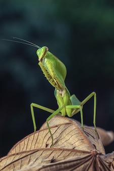 木の枝に緑のカマキリ