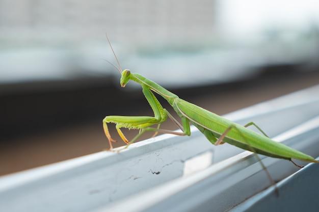 Зеленый богомол сидит на выступе открытого окна и танцует.