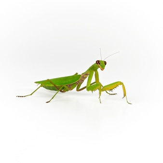Green mantis on white