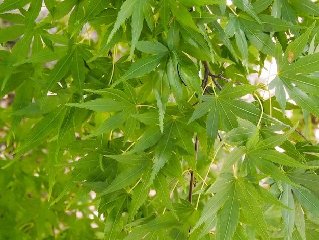 Зеленый кленовый лист фон