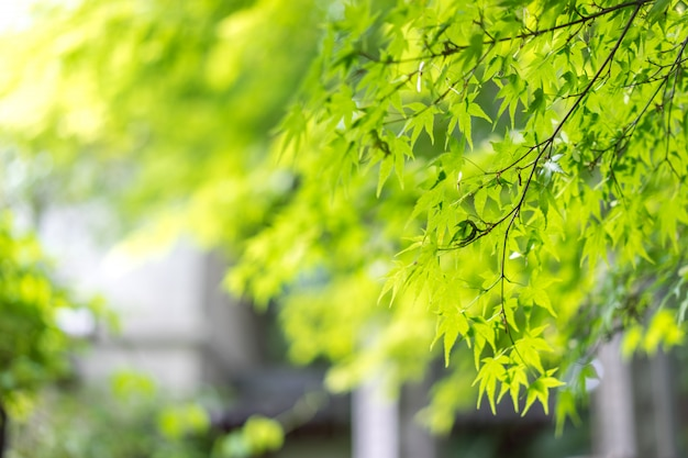 Green maple leaves on the branch. green nature background.