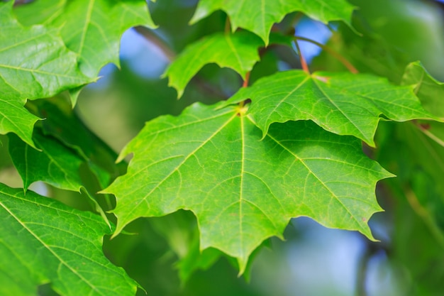 Green maple leaves closeup natural natural natural background a blue sky can be seen through the leaves