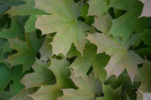 Зеленые кленовые листья растут на дереве на весь кадр