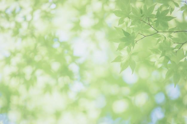 緑のカエデの葉、日本のカエデの木の背景