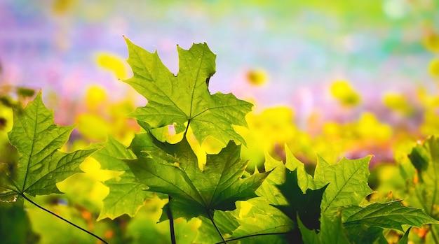 晴天時にぼやけた背景に緑のカエデの葉