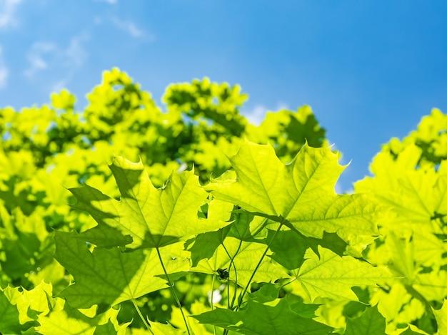 Зеленый клен против голубого неба с солнцем
