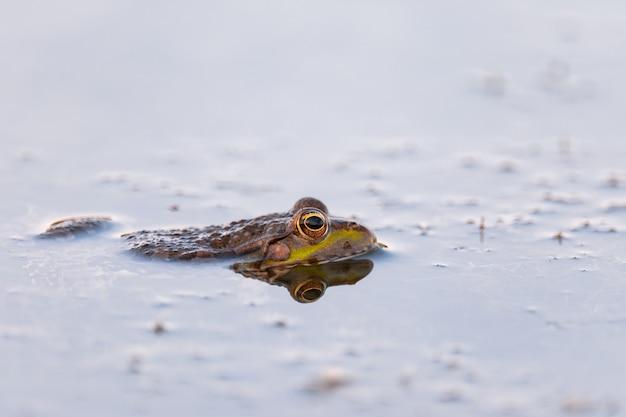 Зеленая болотная лягушка в пруду. pelophylax ridibundus.