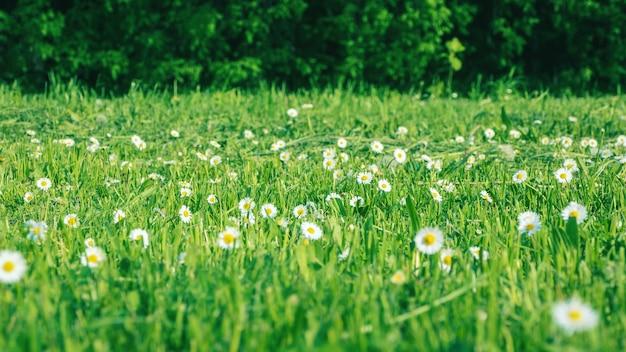 Зеленый луг с ромашками и скошенной травой