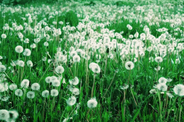 Green meadow with white dandelions