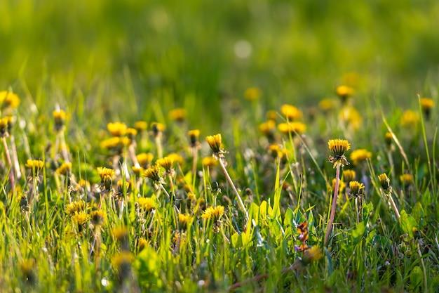 Зеленый луг с желтыми одуванчиками в свете заката