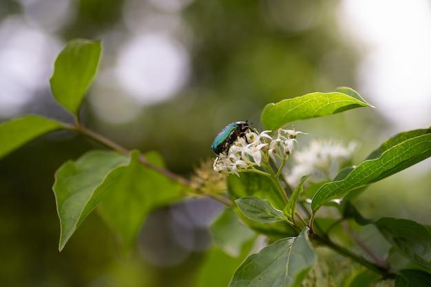 꽃에 앉아 녹색 금속 딱정벌레