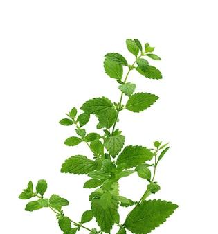 Зеленая ветка мяты с листьями, ароматная приправа для десертов и коктейлей, крупным планом