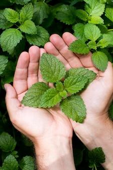 그린 민트 식물 성장 배경. 남자의 손에 나뭇잎.