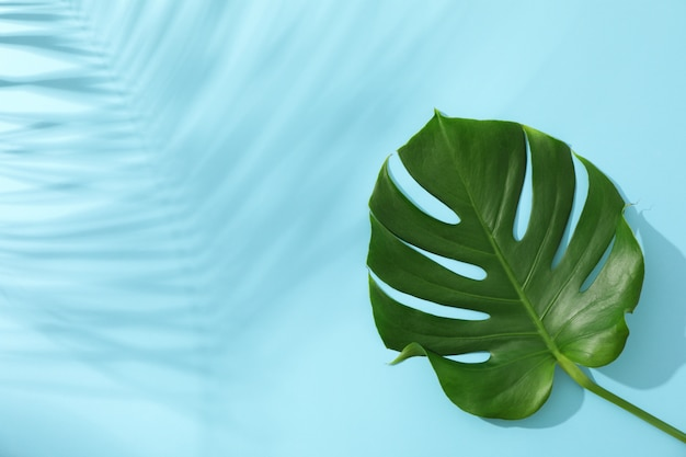 Green monstera on blue table