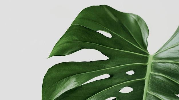 デザインスペースと緑のmonsteraの葉の背景