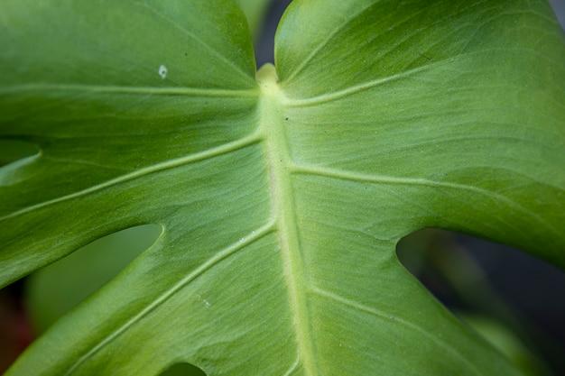 녹색 몬스테라 잎을 닫습니다.