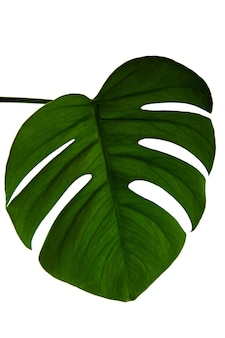 Green monstera leaf isolated on white background