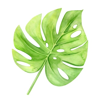Green monstera leaf. tropical plant. hand painted watercolor illustration isolated on white