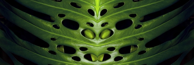 Green monstera leaves on black background, panoramic image
