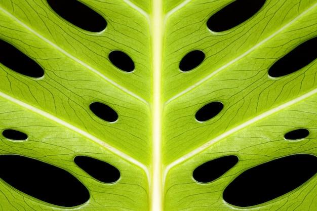 Green monstera leaves on black background