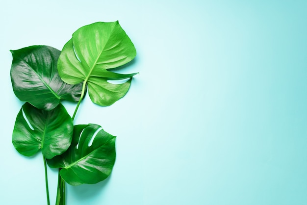 Green monstera leaves on blue background with copy space. top view. minimal design.