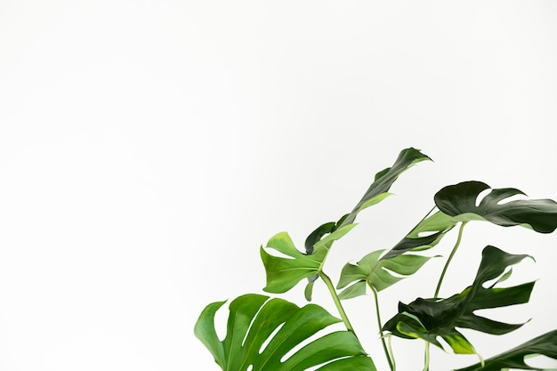 Green monstera leaves by a white wall
