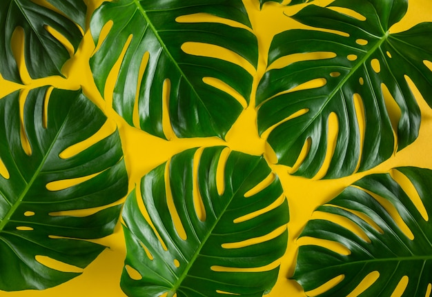 Green monstera leaves closeup patter on vivid yellow background