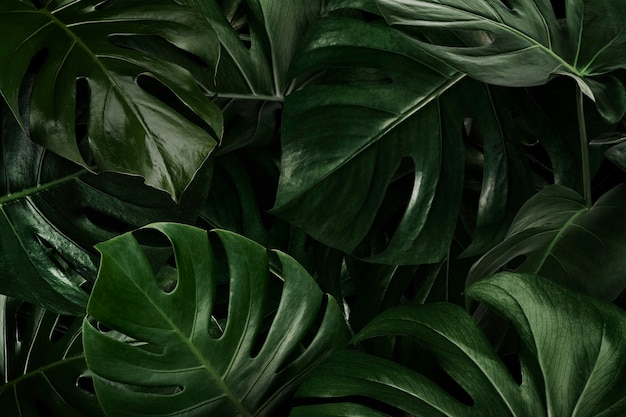 Green monstera leaves nature background