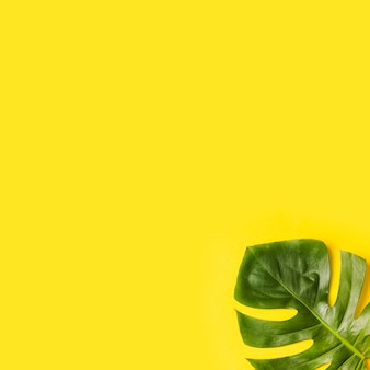 Green monstera leaves on corner of yellow background