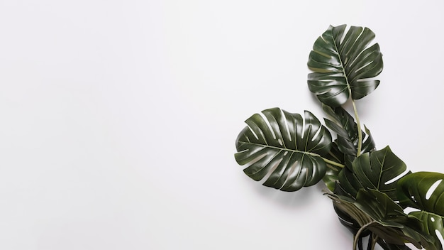 Green monstera leaves on white backdrop