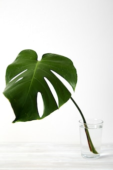 Green monstera leaves on white wooden background