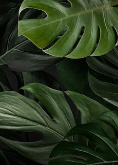 緑のモンステラ自然の背景