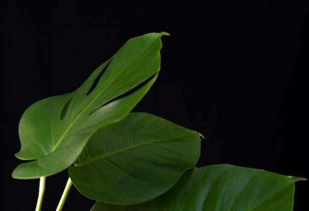 Green monstera plants