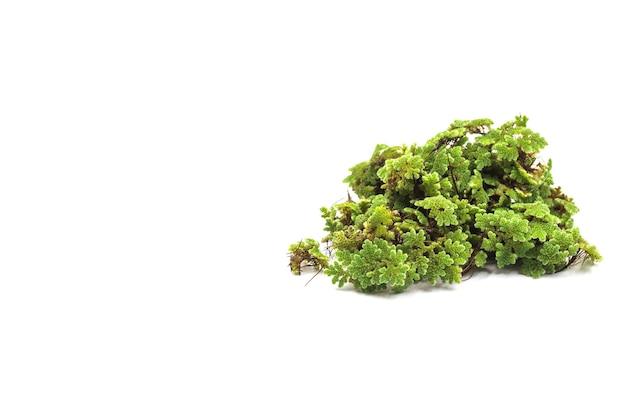 Зеленая текстура папоротника комара (azolla),