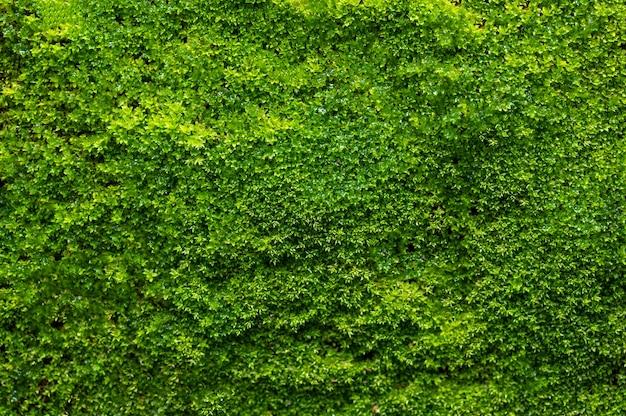 緑の苔の背景、苔むした質感