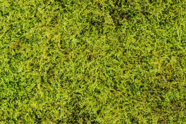Green moss background texture beautiful in nature. close-up