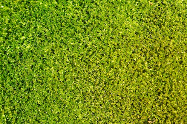 Green moss background and texture macro photo