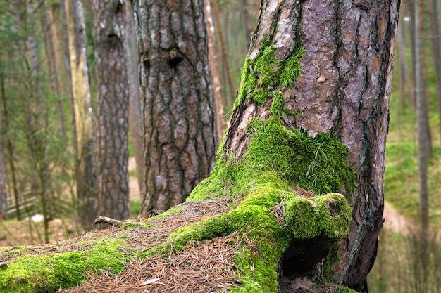 숲에서 오래 된 소나무 줄기에 녹색 이끼를 닫습니다