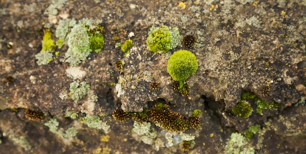 Green moss on the stone. green mold on a gray old rock. natural background texture.