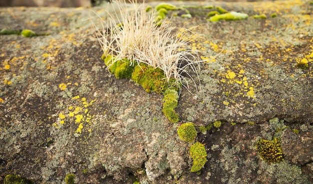 Green moss on the stone. green mold on a gray old rock.