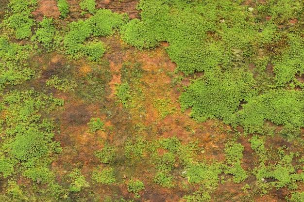 Предпосылка текстуры зеленого мха растет на старой каменной стене.