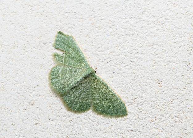 Green moth in the family geometridae (phaiogramma etruscaria)