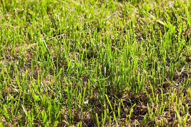 녹색 mown 잔디와 마른 잔디는 땅에 누워, 초원에 근접 촬영, 마른 짚과 신선한 잔디는 농장에서 동물을 먹이는 데 사용됩니다.