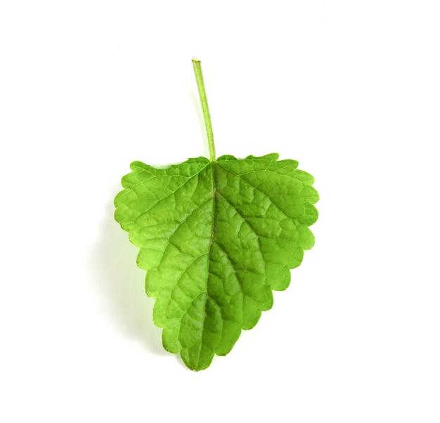 녹색 근육 잎 흰색 배경에 고립입니다.