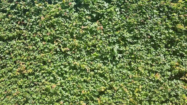 녹색 자연 배경입니다. 녹색 잎 단풍 질감 배경입니다. 살아있는 식물의 벽.