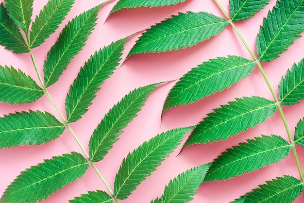 Green natural leaves on pink paper, close-up. abstract background, texture. top view, flat lay, template