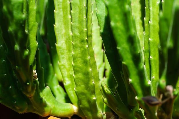 緑の自然植物の背景-ジューシーなスタペリアグランディフローラまたはgettleffiiのジューシーな茎